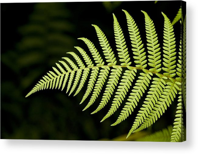 Closeups Acrylic Print featuring the photograph Detail Of Asian Rain Forest Ferns by Tim Laman