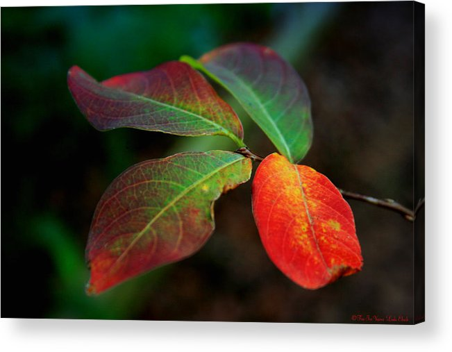 Leaves Acrylic Print featuring the photograph Fall Leaves by Linda Ebarb