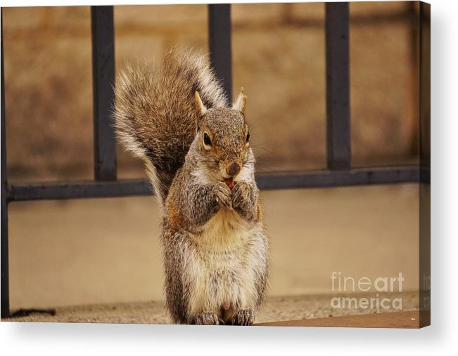 Squirrel Acrylic Print featuring the photograph French Fry Eating Squirrel by Merle Grenz