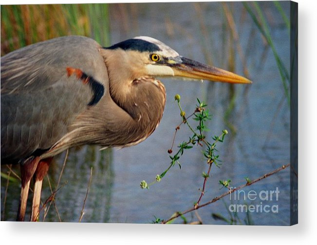 Bird Acrylic Print featuring the photograph Great Blue by Jill Pearson