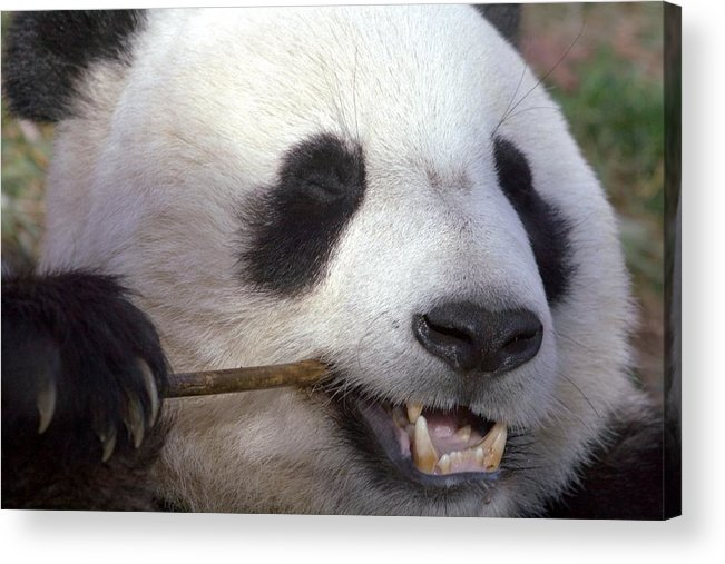 Panda Acrylic Print featuring the photograph Happiness by Mitch Cat