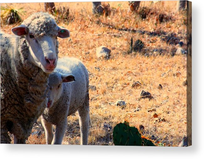 Sheep Acrylic Print featuring the photograph Impoverished Sheep by Josh Montgomery
