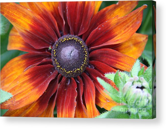 Sunflower Acrylic Print featuring the photograph Little Sunshine by Christiane Schulze Art And Photography