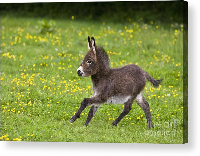 Free Miniature Donkey Pictures To Print  Details about Muriel Dawson