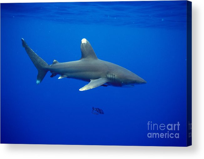 Animal Art Acrylic Print featuring the photograph Oceanic Whitetip Shark by Dave Fleetham - Printscapes