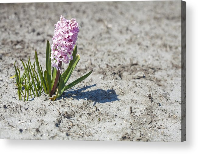 Agriculture Acrylic Print featuring the photograph Pink Hyacinths by Andre Goncalves