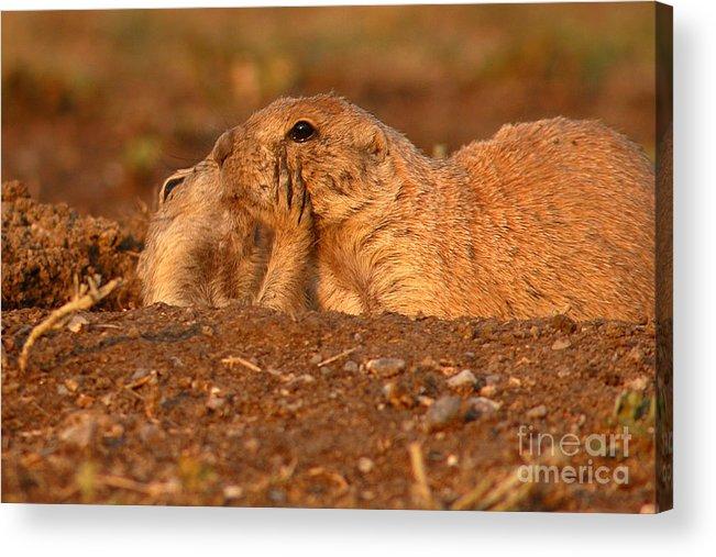Prairie Dog Acrylic Print featuring the photograph Prairie Dog Tender Sunset Kiss by Max Allen