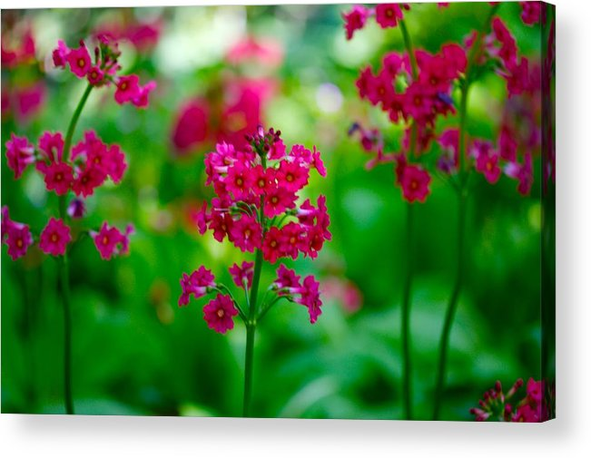 Floral Acrylic Print featuring the photograph Purple Flowers by Paul Kloschinsky