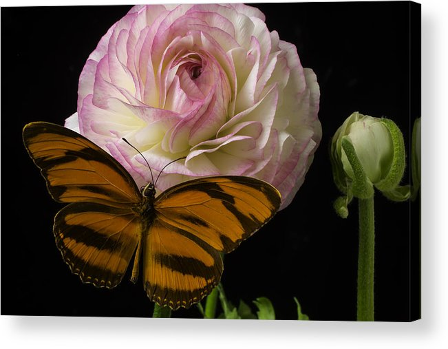 Pink Acrylic Print featuring the photograph Ranunculus And Butterfly by Garry Gay