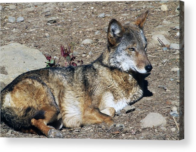 Wolf Acrylic Print featuring the photograph Resting Wolf by Karol Livote