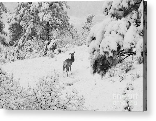 Elk Acrylic Print featuring the photograph Elk In Deep Snow In The Pike National Forest by Steve Krull
