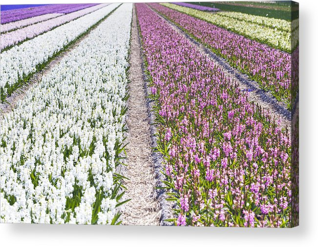 Agriculture Acrylic Print featuring the photograph Hyacinths Fields by Andre Goncalves