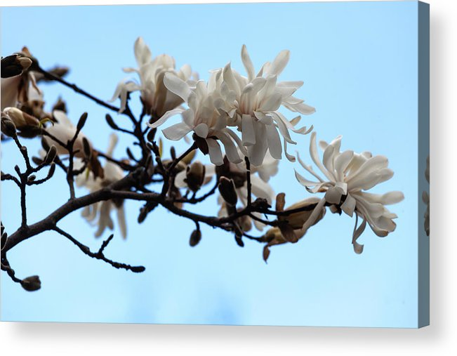 Magnolia Acrylic Print featuring the photograph Magnolia Blossoms by Robert Ullmann