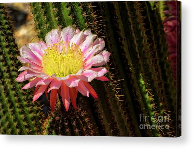 Cactus Acrylic Print featuring the photograph Pink Cactus Flower by Jim And Emily Bush