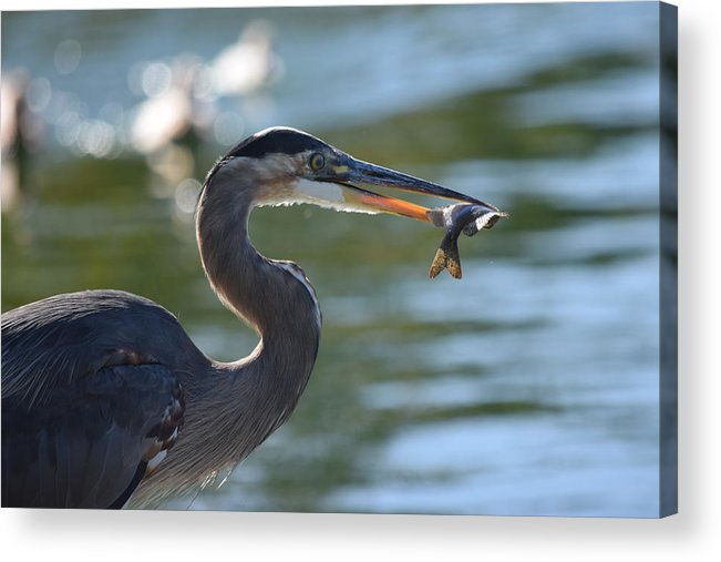 Great Blue Heron Acrylic Print featuring the photograph Catch Of The Day by Eric Johansen