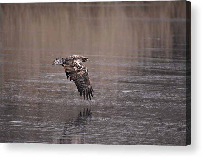 Immature Eagle Acrylic Print featuring the photograph Eagle by John Adams