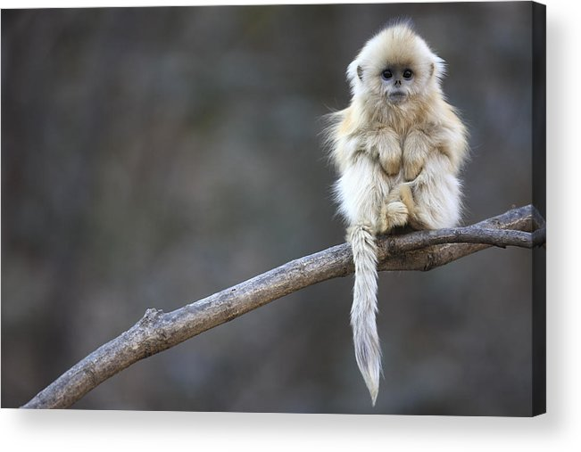 Mp Acrylic Print featuring the photograph Golden Snub-nosed Monkey Rhinopithecus by Cyril Ruoso