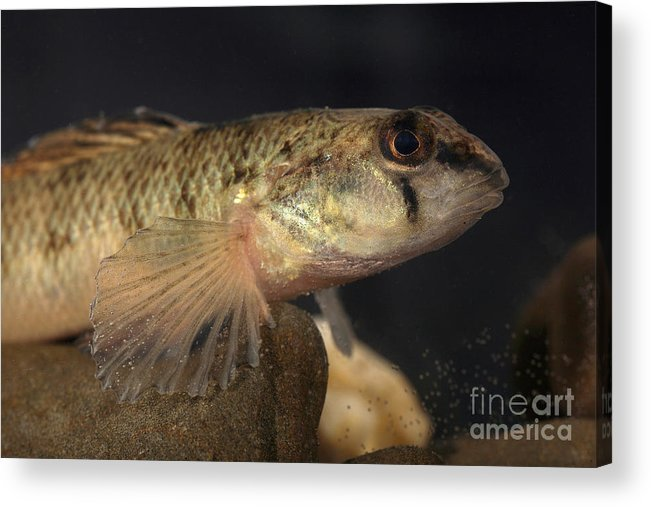 Animal Acrylic Print featuring the photograph Mobile Logperch Percina Kathae by Ted Kinsman