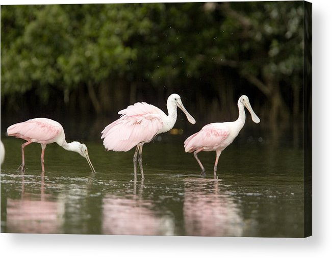Three Animals Acrylic Print featuring the photograph Roseate Spoonbills Ajaia Ajaja Feed by Tim Laman