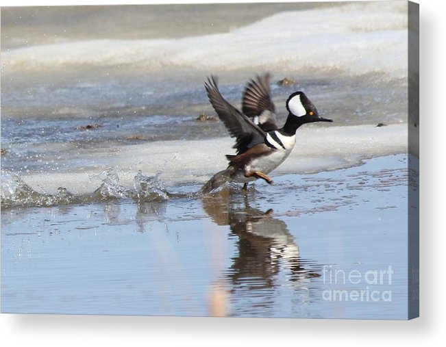 Hodded Acrylic Print featuring the photograph Running On The Water by Lori Tordsen