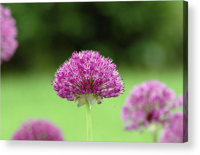 Purple Acrylic Print featuring the photograph Untitled by Kathy Schumann