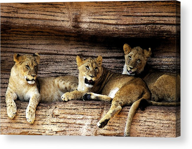 Lion Acrylic Print featuring the digital art 3 Cubs by Don Prioleau