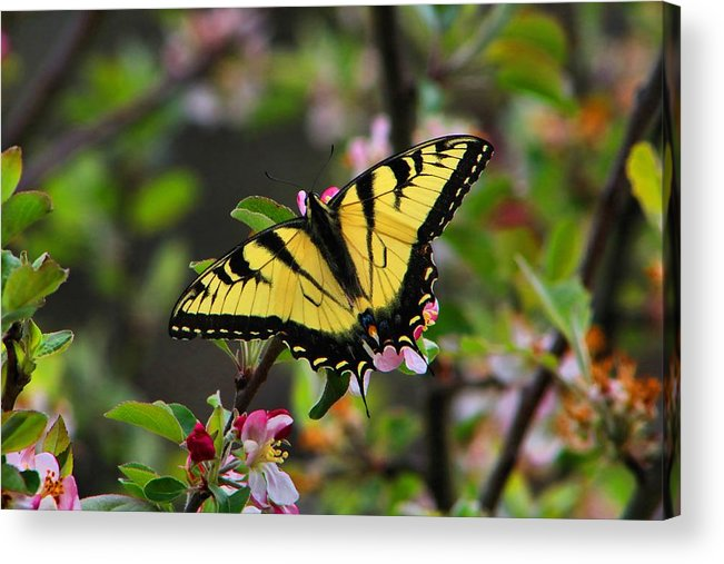 Swallowtail Acrylic Print featuring the photograph Tiger Swallowtail by Kathryn Meyer