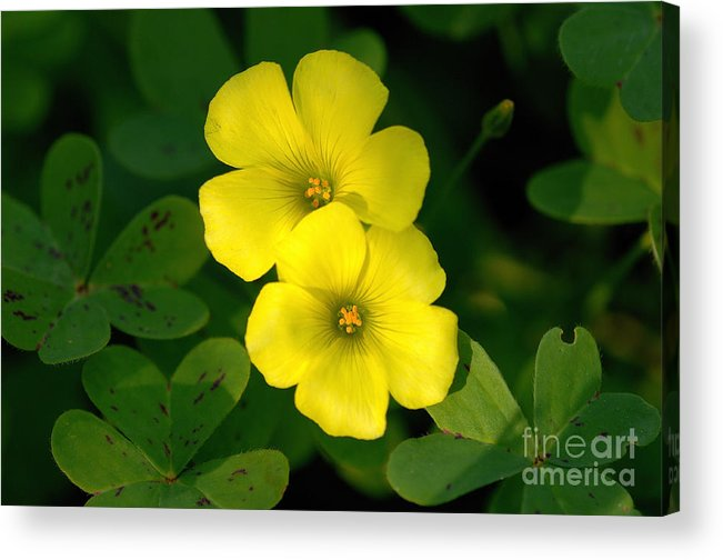 Flowers Acrylic Print featuring the photograph Flowers by Marc Bittan
