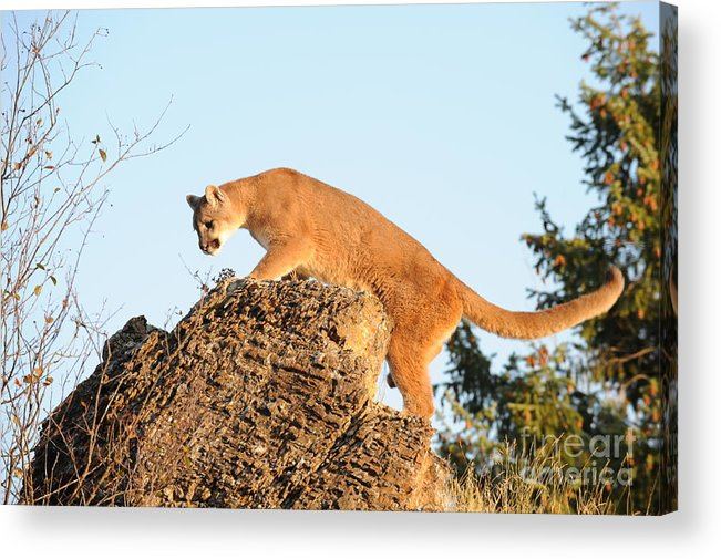 Mountain Lion Acrylic Print featuring the photograph Mountain Lion by Dennis Hammer