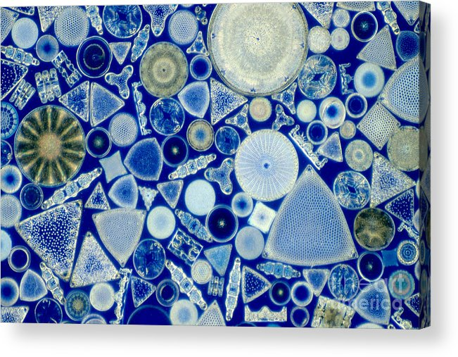 Diatom Acrylic Print featuring the photograph Diatoms by M. I. Walker