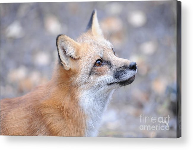 Red Tailed Fox Acrylic Print featuring the photograph Red Tailed Fox by Dennis Hammer