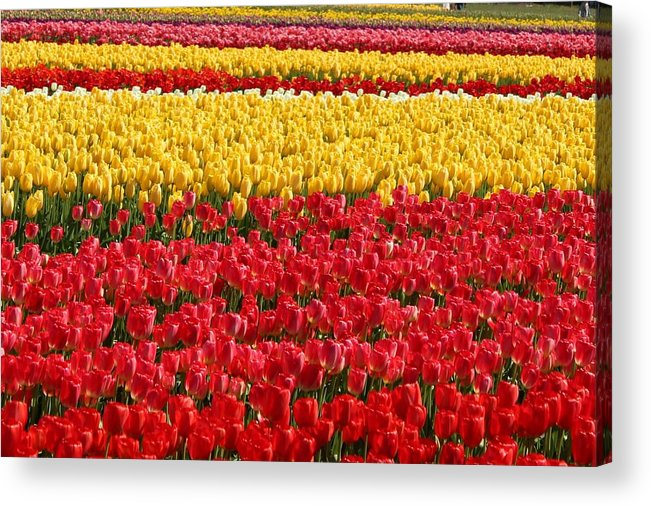 Tulip Acrylic Print featuring the photograph Tulip by Sherri Keene