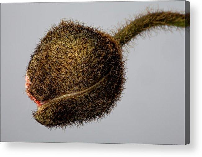 Poppy Acrylic Print featuring the photograph Poppy Bud by Robert Ullmann