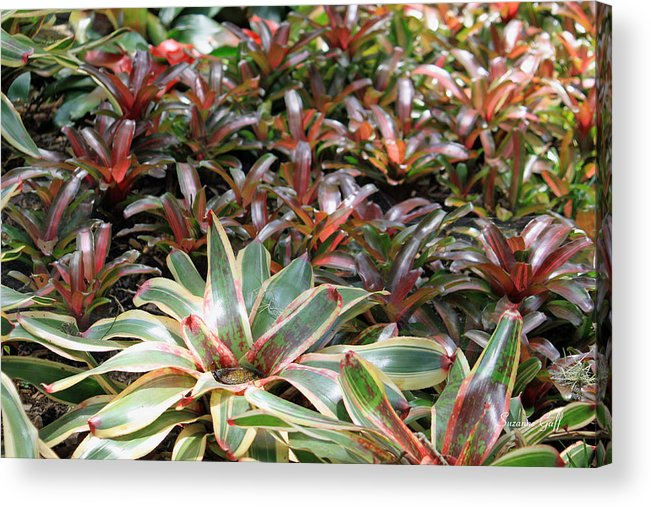 Bromeliad Acrylic Print featuring the photograph A Bevy Of Bromeliads by Suzanne Gaff