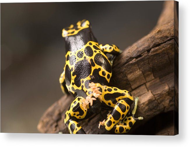 Nobody Acrylic Print featuring the photograph A Bumblebee Or Yellow-backed Poison by Joel Sartore