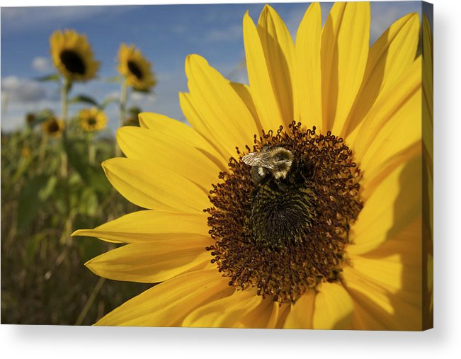 Concord Acrylic Print featuring the photograph A Honey Bee Visiting A Sunflower by Tim Laman