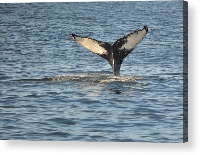 Whale Acrylic Print featuring the photograph A Whale Of A Tail Bar Harbor by Lena Hatch