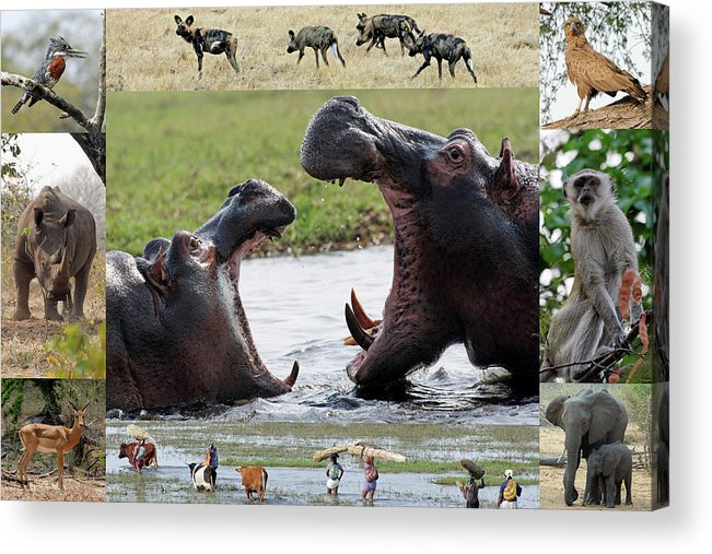 African Acrylic Print featuring the photograph African Wildlife Montage - Hippos by Robert Shard