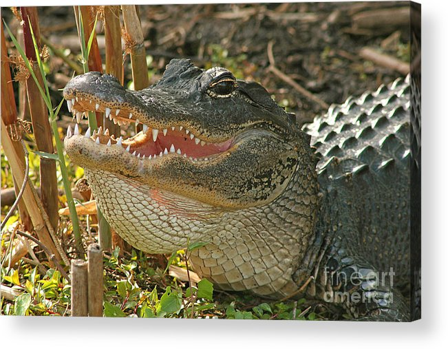Alligator Acrylic Print featuring the photograph Alligator Showing Its Teeth by Max Allen
