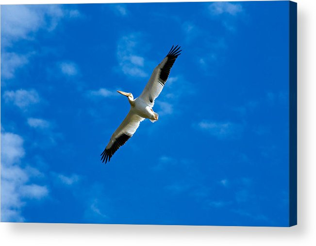 American Acrylic Print featuring the photograph American White Pelican by Marilyn Hunt