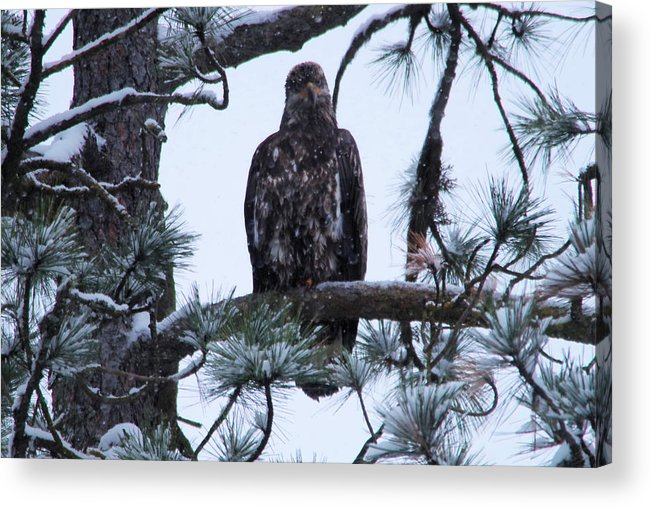 Bald Eagle Acrylic Print featuring the photograph An Eagle Gazing Through Snowfall by Jeff Swan