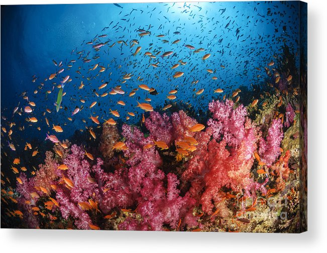 Animals In The Wild Acrylic Print featuring the photograph Anthias Fish And Soft Corals, Fiji by Todd Winner