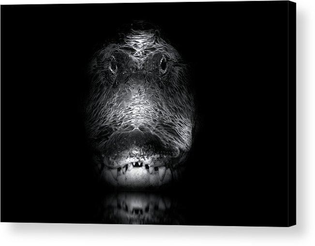 Alligator Acrylic Print featuring the photograph Apex by Mark Andrew Thomas