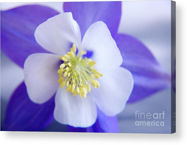 Nature Acrylic Print featuring the photograph Aquilegia by Julia Hiebaum