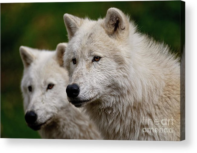Michael Cummings Acrylic Print featuring the photograph Arctic Wolf Pair by Michael Cummings