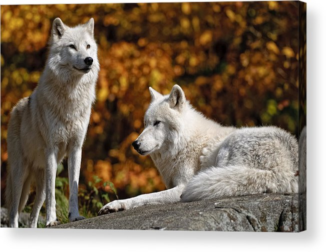 Michael Cummings Acrylic Print featuring the photograph Arctic Wolves On Rocks by Michael Cummings