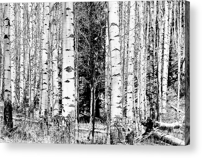 Black And White Acrylic Print featuring the photograph Aspens And The Pine Black And White Fine Art Print by James BO Insogna