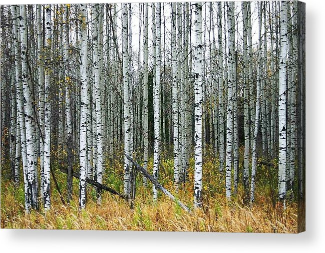 Aspens Acrylic Print featuring the photograph Aspens by Nelson Strong