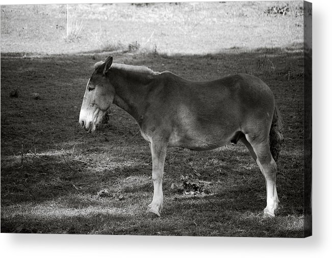 Ass Mule Horse Field Grass Animal Acrylic Print featuring the photograph Ass In Field by William Haney