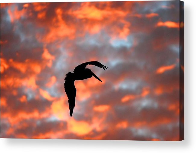 Wa Acrylic Print featuring the photograph Australian Pelican Silhouette by Tony Brown
